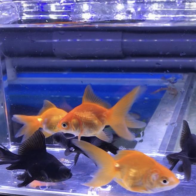 ◆水換えをすると金魚が死んでしまう3つの原因と解決法とは?