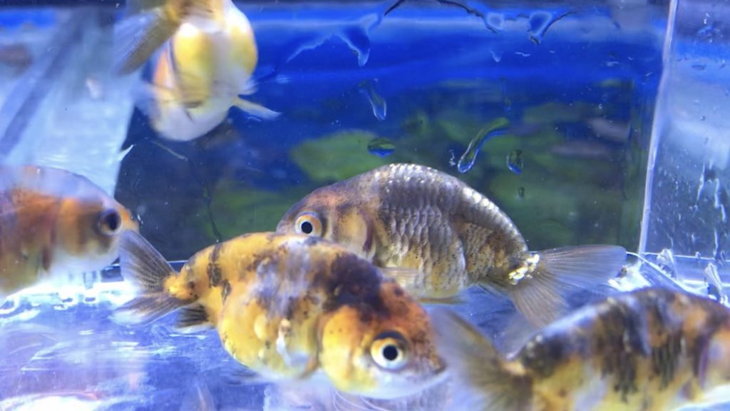 ◆キャリコ・ライオンヘッドとな?輸入金魚は蓋を開けてみないと分からない…育てる過程を見過ごさない。