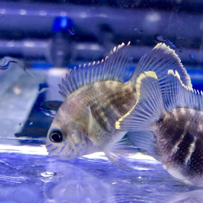 ◆ショートボディグリーンテラー Aequidens rivulatus 混泳や飼育方法の注意点。
