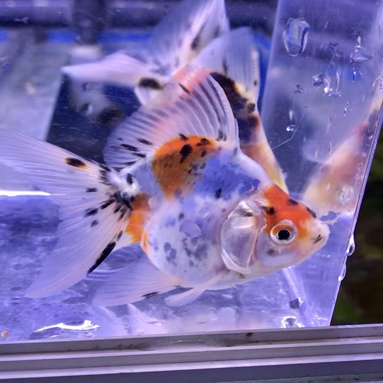 ◆平賀産のキャリコ琉金入荷。人気の養魚場でみる好みの金魚の選び方とは。