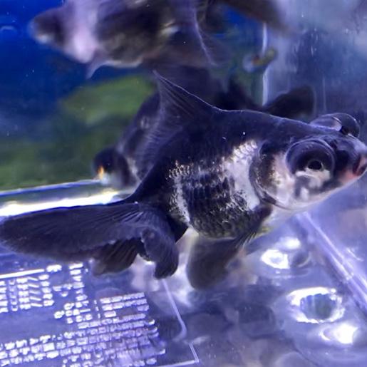 ◆金魚の白点病を魚病薬を使わないで治療する方法。ヒーターと塩があれば薬を使わないで治すときとは??