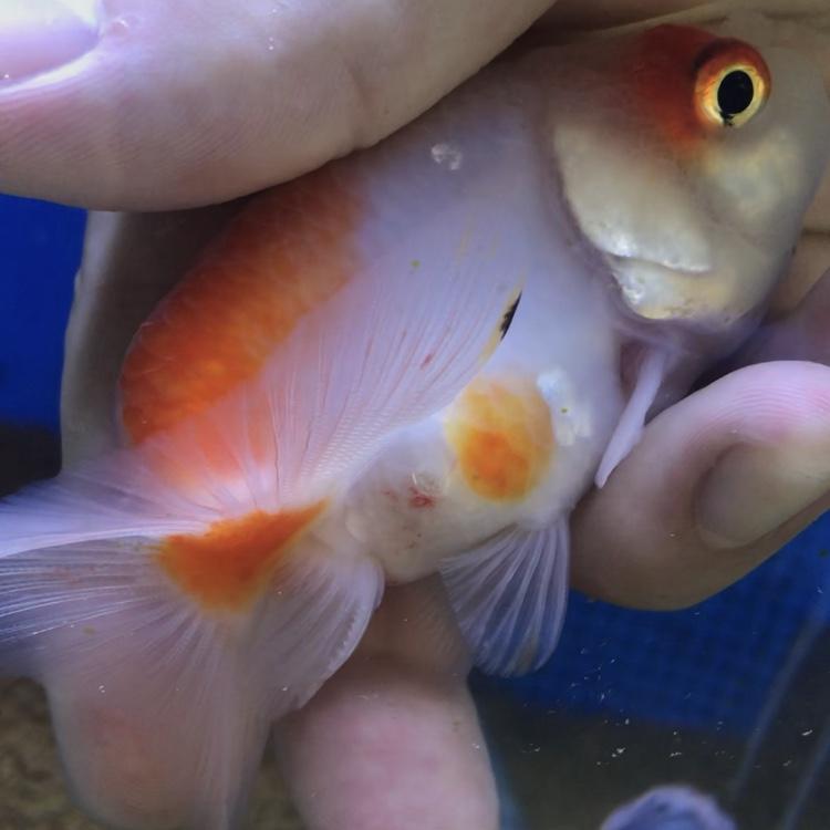 ◆【写真付き】桜琉金に寄生したチョウ虫を駆除!金魚を傷めないで取り除く方法とは。