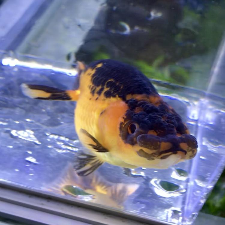 ◆2019/7月に仕入れて良かった金魚とは!!岡部産と鈴木和男らんちう珍カラー登場。