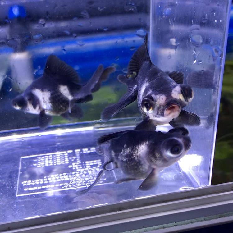 ◆2019年初のパンダ蝶尾SM、久々に中国産がやってきました。通販でも見かける機会は少ない金魚。