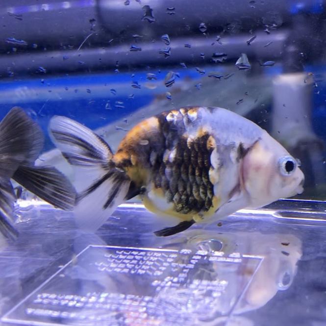 ◆ミックス金魚の中から、お好み探訪ランチュウ編