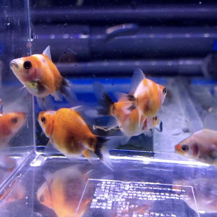 ◆国産キャリコ玉さば(薩摩養魚場)は、新潟産玉さばのライバルに?幼い個体は水合わせを慎重に。