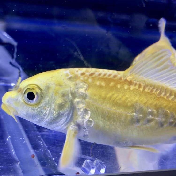 ◆最高に輝くニシキゴイことドイツ黄金とは。夏から秋へ向けての飼育ポイント