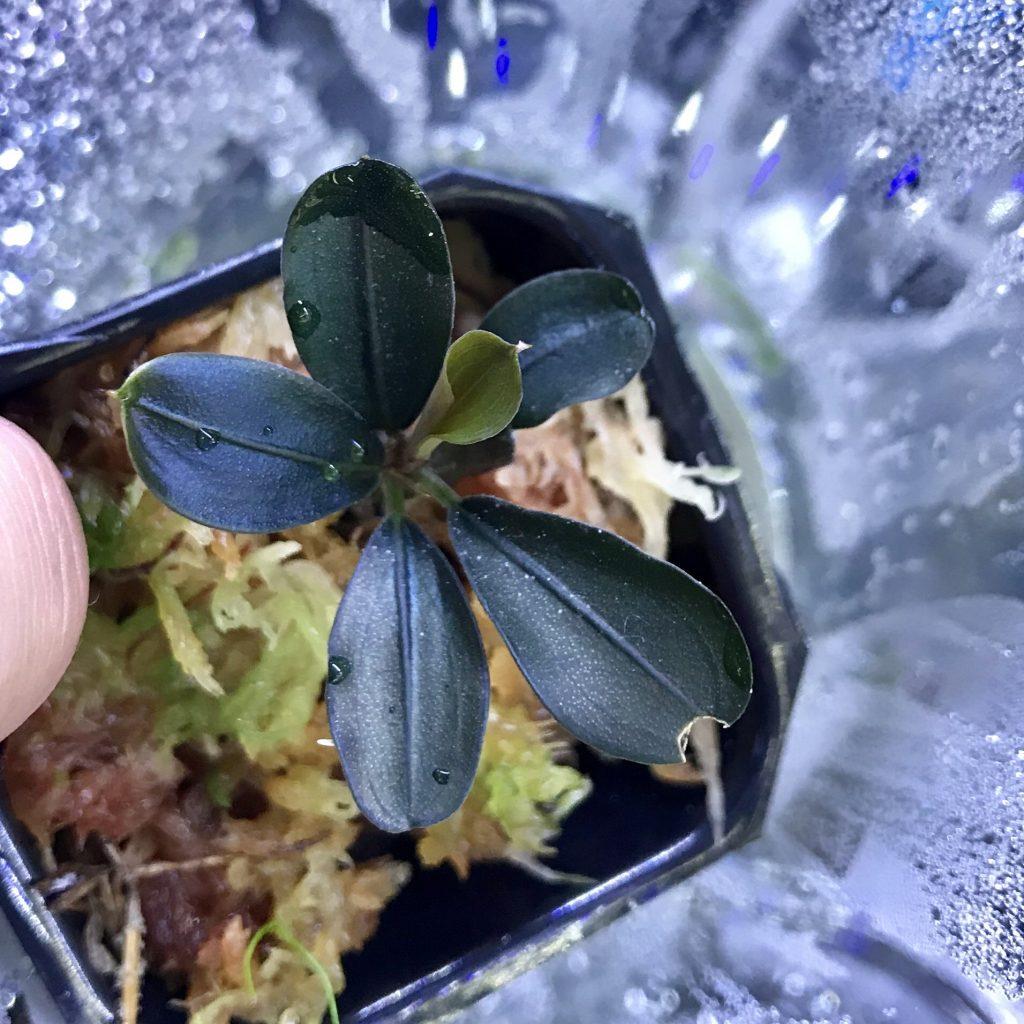 ◆3種類のブセファランドラSP.テイアを比べてみた。インドネシア便Bucephalandra sp.Theiaとは。