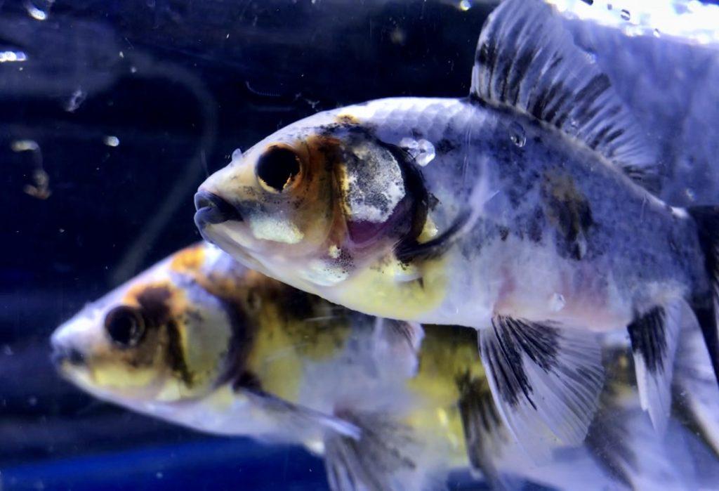 ◆志村養魚場産ブリストル朱文金は健康的で美しい。9月からの水温管理の注意点とは。