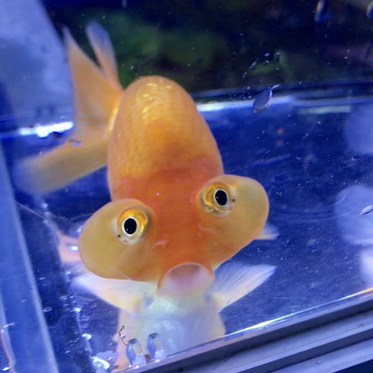 ◆平賀養魚場産の出目水泡眼(デメスイホウガン)と相性のよい金魚や飼料とは