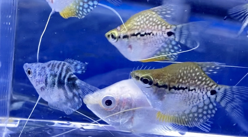 ◆混泳にも向くバルーングラミー4種類の魅力。マーブル、ゴールデン、パール、キッシングで水槽にマスコットキャラを入れてみる。