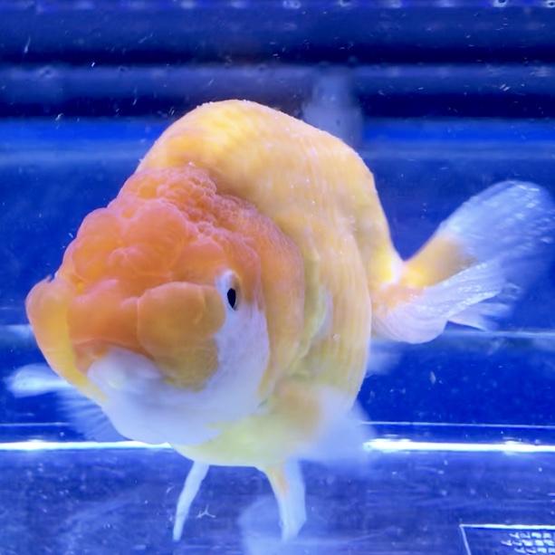 ◆珍金魚!協会系の桜錦が入荷したが病気のため即治療へ…ウーデニウム?白点病か?