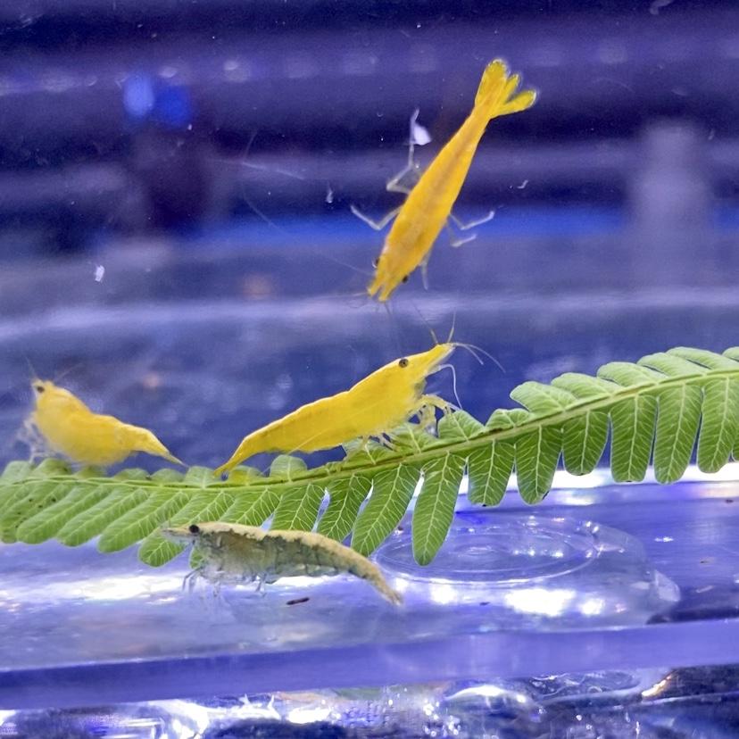 ◆黄金シュリンプことイエローチェリーシュリンプ?!混ざりの色違いもは貴重かも。上手に飼育するには水合わせと混泳に注意する