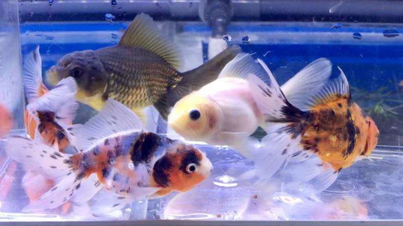 ◆注目!!薩摩養魚場産の新リリースは、オランダ獅子頭ブロードテール(東錦、赤勝ち、ミルク、タイガー、黒)。混泳で見比べてみました。