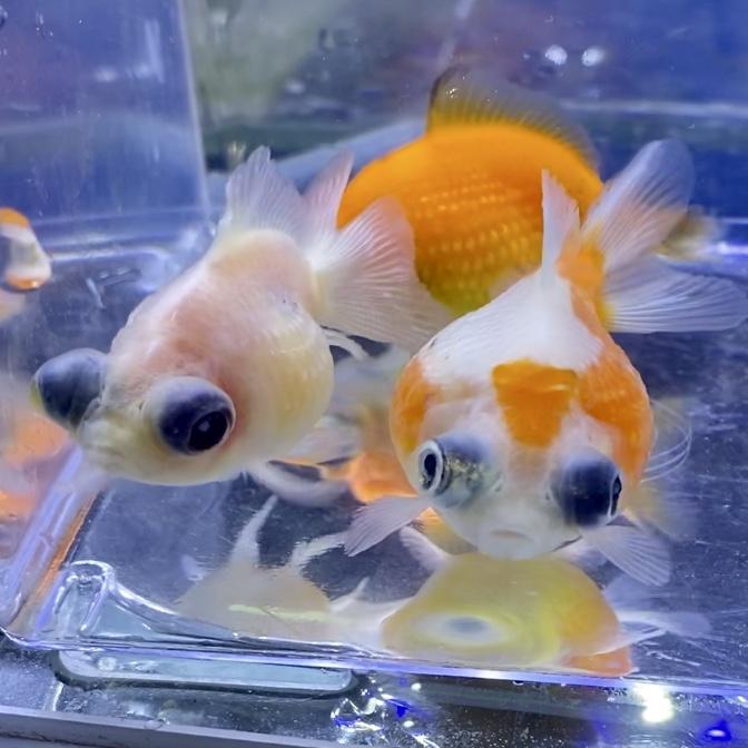 ◇薩摩養魚場産の出目パールスケールを飼育管理。ピンポンパールとの ...