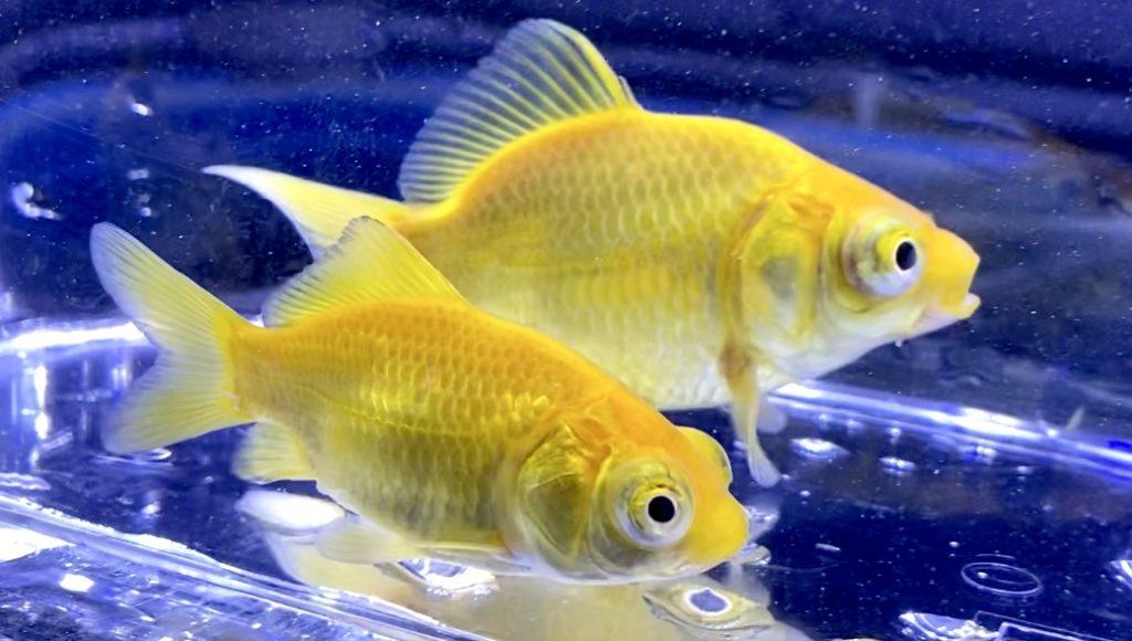 ◆荻野(おぎの)養魚場産の出目玉黄金?!普通の黄色い出目金ではない…混泳や飼育ポイントとは。