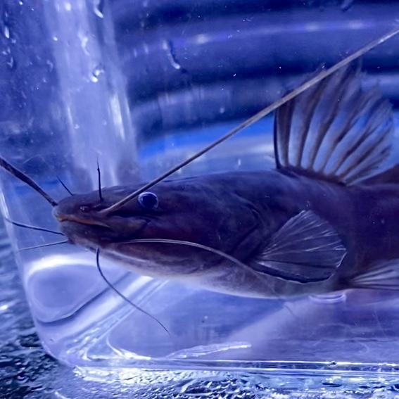 ◆ドラゴンフィン・ミスタスは傷を癒やすことで魅力が発揮される。Hemibagrus olyroides飼育や販売具合など。