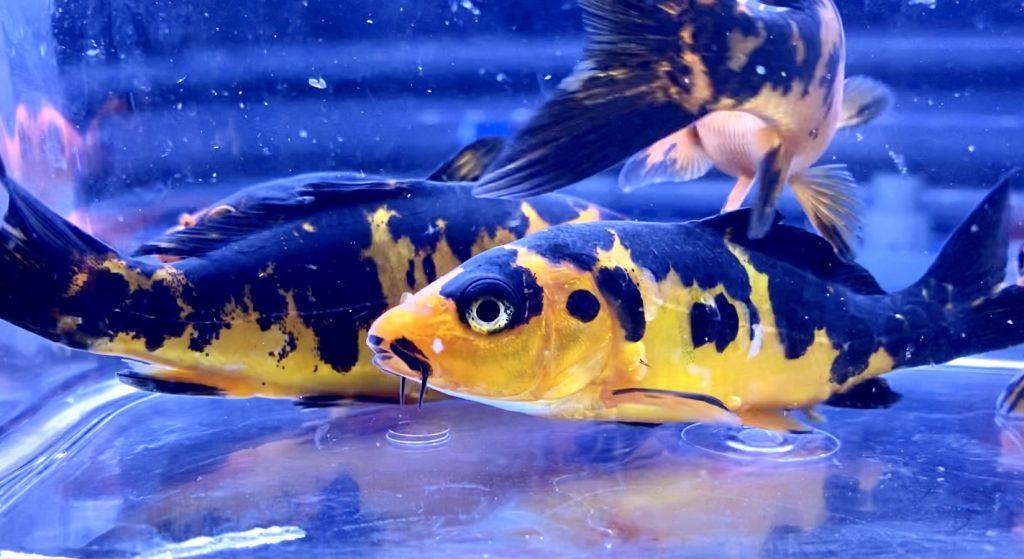 ◆似てて気になる赤べっ甲とドイツ赤べっ甲。水槽飼育する人気の錦鯉たち。