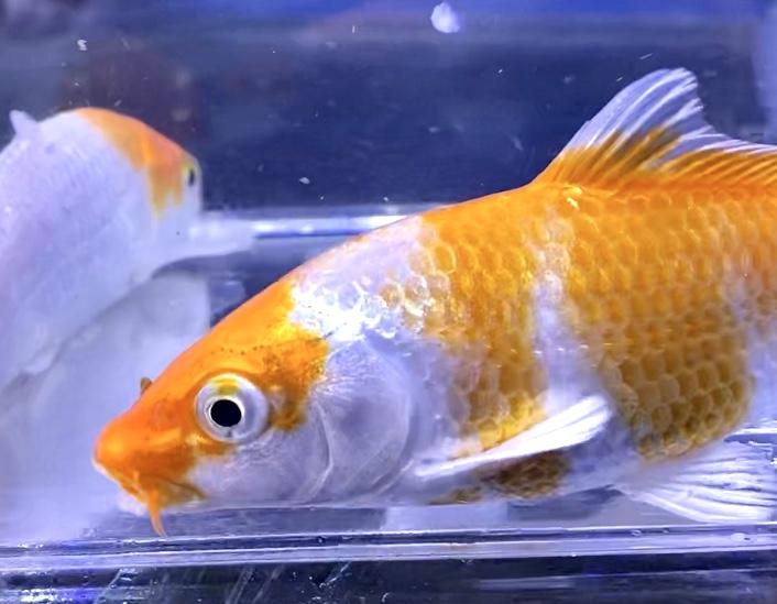 ◆紅白よりも桜黄金(さくらおうごん)が人気?!水槽飼育する人気の錦鯉たち。