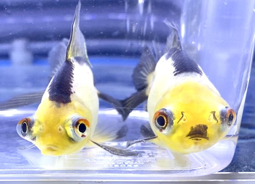 ◆薩摩産のパンダ出目金に習う金魚の観察ポイントとは。
