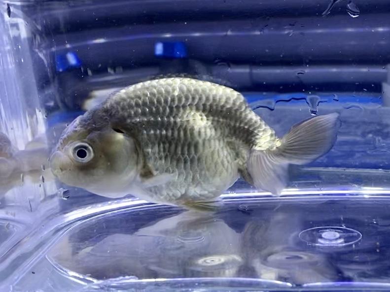 ◆協会系の黒らんちゅう飼育方法。通販を含めた販売とは。【金魚】