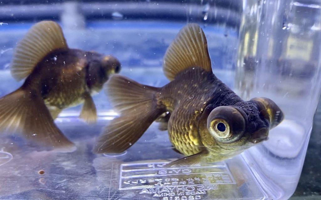 ◆輸入の茶蝶尾が、コンディション不良のため艶感が無いのをご紹介。なんとなくでも掴んでおきたい金魚のサイン