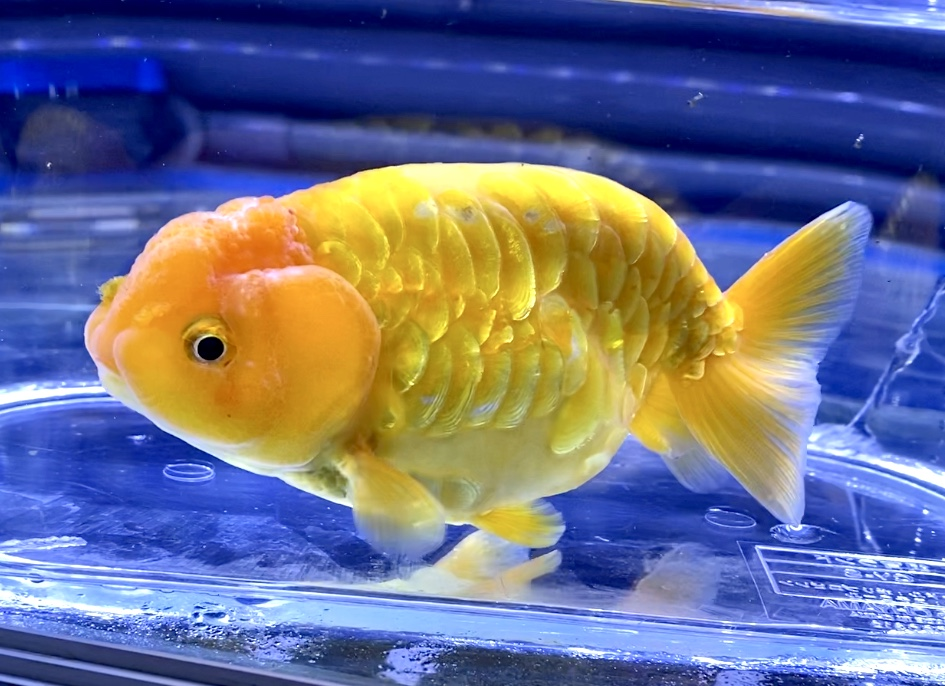 ◆これがドラゴンスケールランチュウ。良個体らんちゅうの飼育法とは【写真多め】【金魚】