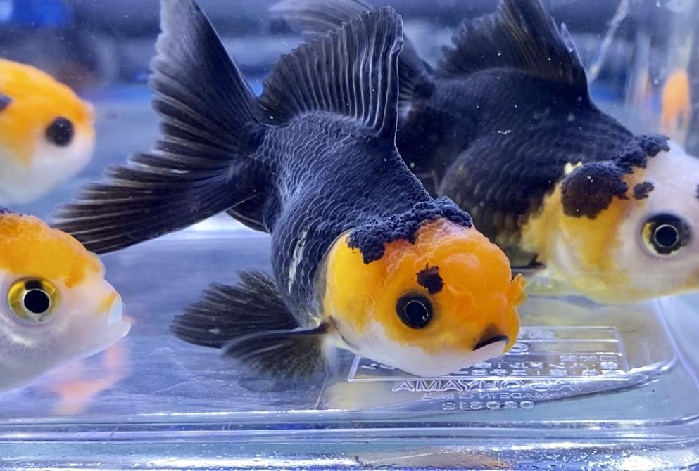 ◆良物のトリカラーオランダ獅子頭とは。輸入金魚でも人気の高い注目品種。