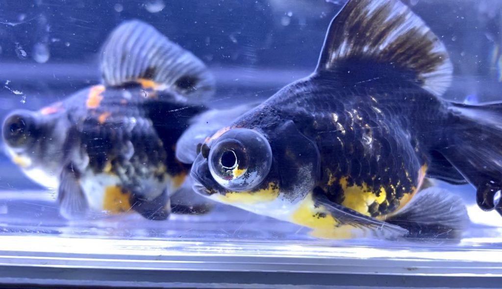 ◆外国産のキャリコ蝶尾の墨が映えるタイプ・・・人気の黒勝ちとは。