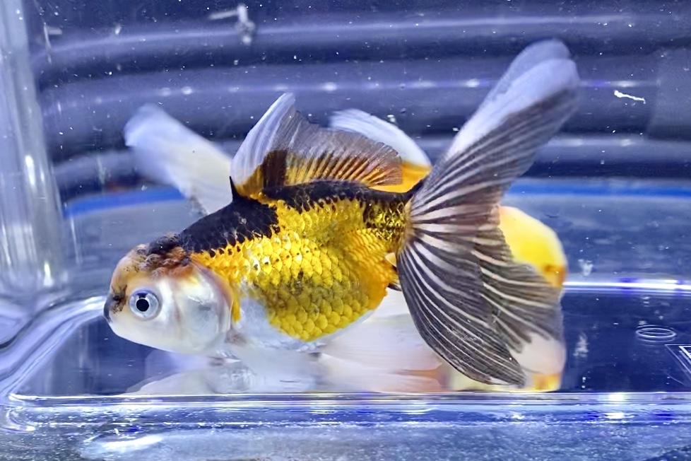 ◆中国産の『トリカラーオランダ獅子頭』飼育レポート。通販や販売価格帯とは。『白黒オランダ』『羽衣オランダ』に似た金魚