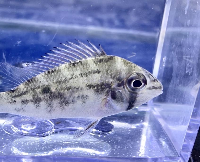 ◆ビオトドマ・ワヴリーニ(Biotodoma wavrini)はクピドと1属2種のちょっとだけ珍しいお魚。飼育レポートや通販を含めた販売価格帯とは。