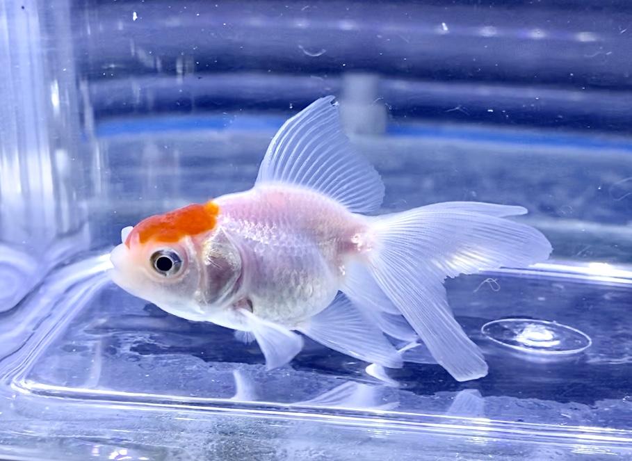 ◆国産!愛知県弥富産の『丹頂』(たんちょう)飼育レポートと通販や販売価格帯とは。
