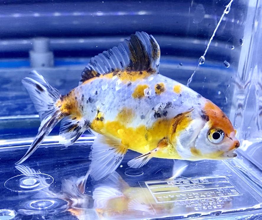 ◆熊本産ジャンボ東錦飼育レポートと通販での販売とは。ポイントは無理せず飼育を楽しむことを忘れずに出来る範囲で試行錯誤していきます。