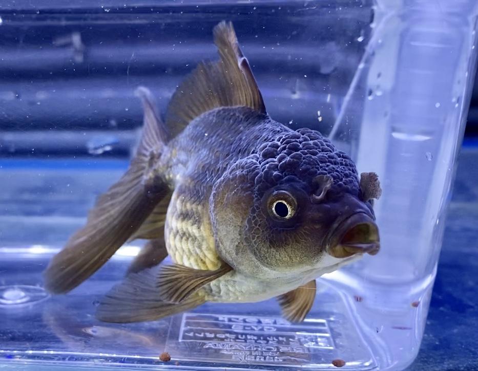 ◆外国産の『真っ黒オランダ獅子頭』入荷後の飼育レポート。熱帯魚のようにヒーター飼育すると上手くいくのか?