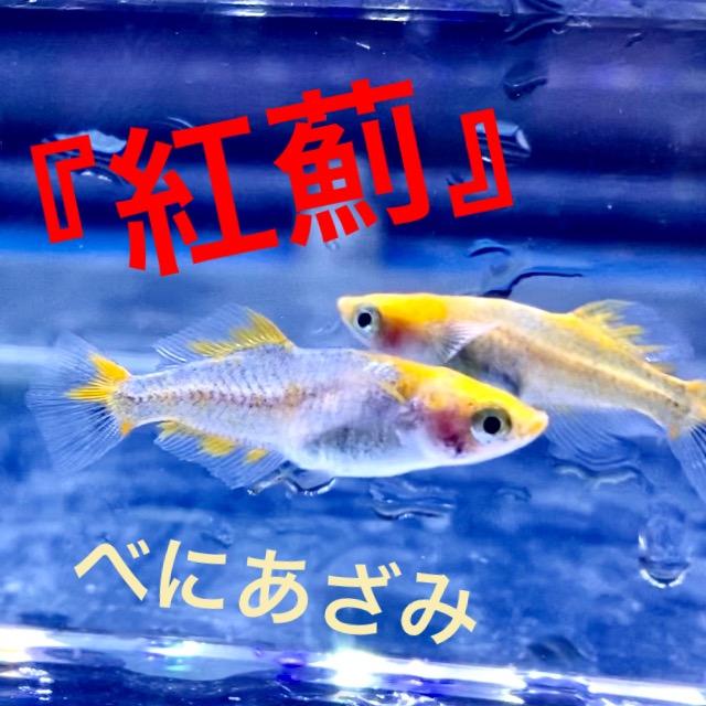 ◆紅薊(べにあざみ)メダカ飼育レポート。通販を含めた販売や価格帯とは。