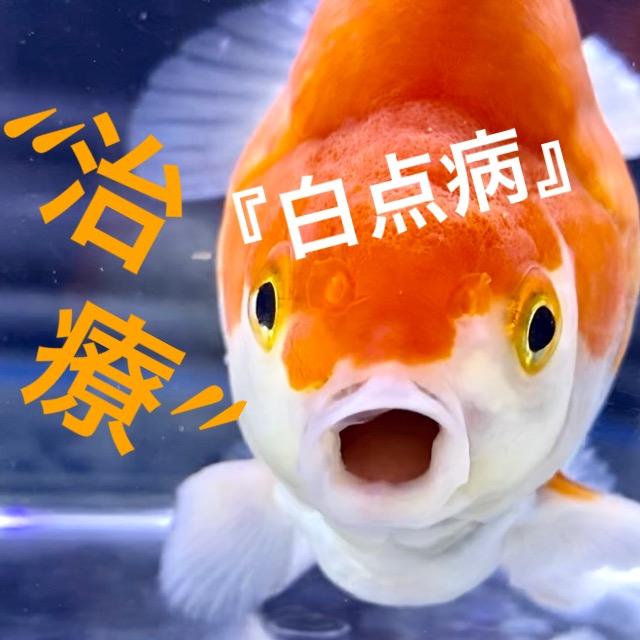 ◆中国産の『だるま琉金』が白点病でやって来たので簡単治療。飼育レポート。通販を含めた販売など。キャリコ、更紗、トリカラー。