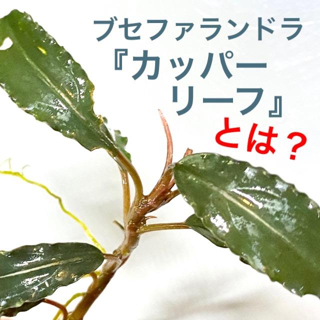 ◆ブセファランドラSP.カッパーリーフ(インドネシアワイルド便)  Bucephalandra sp. Copper leaf