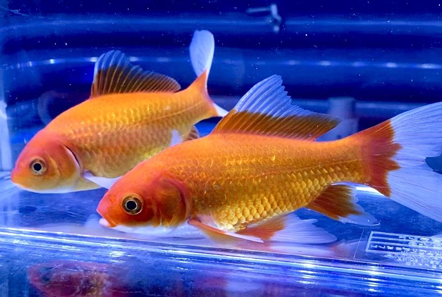 ◆『金魚』と『錦鯉』の混泳について。組み合わせる品種とエサのポイント