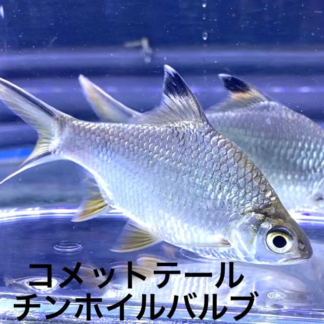 ◆コメットテールチンホイルバルブの飼育レポートと通販や販売価格とは。中型~大型の混泳水槽にも。