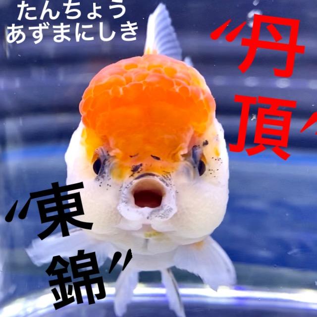 ◆東錦〜丹頂風〜入荷直後状態の良し悪しの見方。通販を含めた販売や価格帯とは。