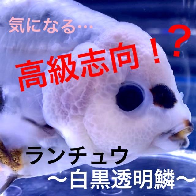 ◆白黒透明鱗ランチュウ(ダルメシアン、カスリ)飼育。『泳ぎ』は大切!日頃の管理から?!通販を含めた販売や価格帯とは。
