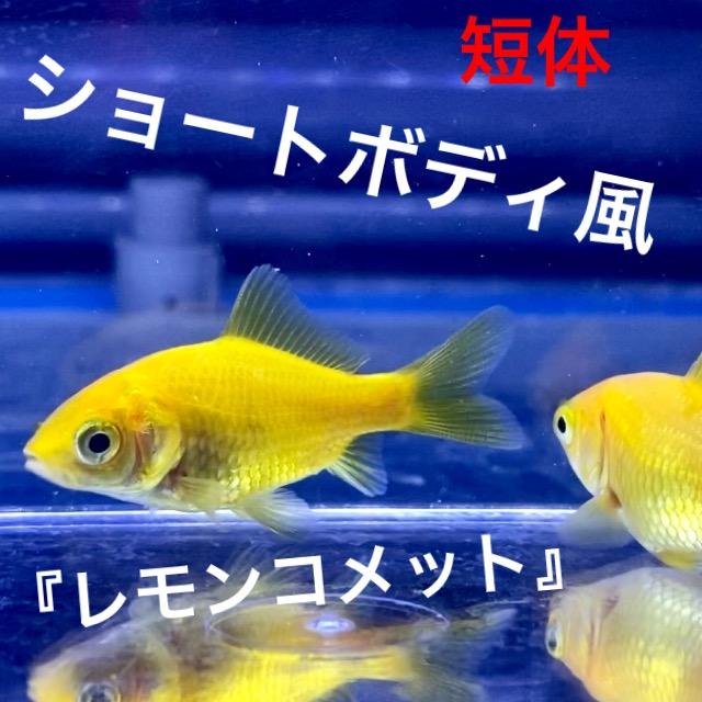 ◆身体が短い『レモンコメット』混ざってくるショートボディ風は運命で出会う。
