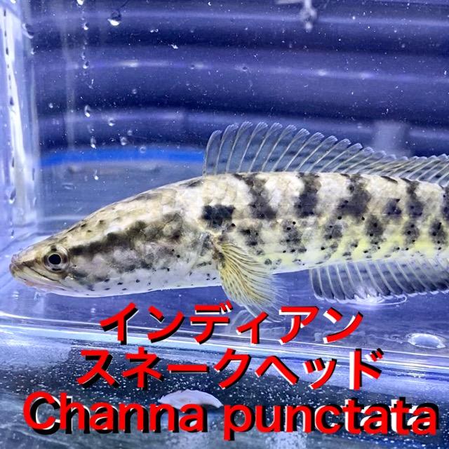 ◆インディアンスネークヘッド(Channa punctata)飼育レポート。『グリーンフィン』『プラチナ』?通販を含めた販売や価格帯とは。