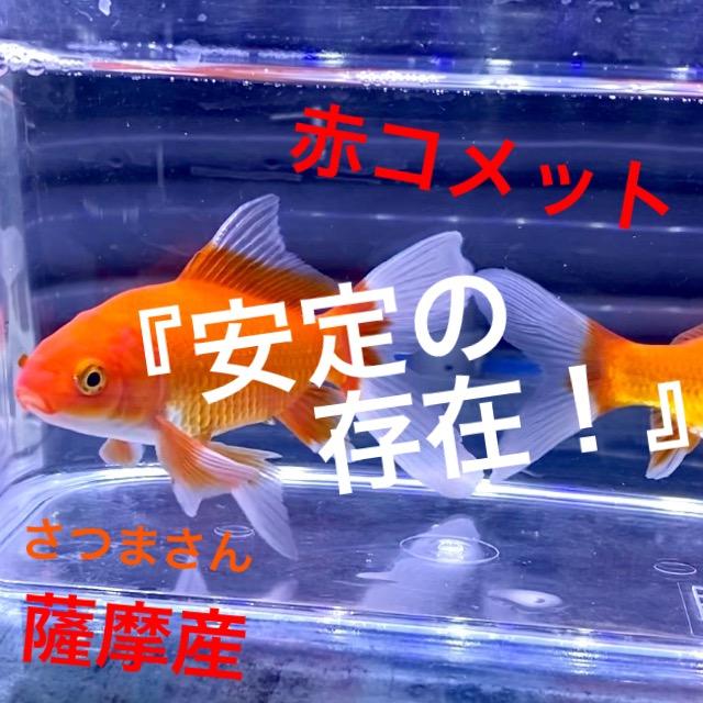 ◆薩摩養魚場産の『赤コメット』ヒレの長さは個体差がある。入荷後の飼育レポートと通販を含めた販売や価格帯とは。