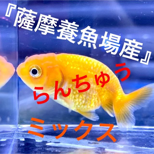 ◆薩摩養魚場産の『らんちゅうミックス』にキラキラ発見!飼育管理や通販を含めた販売や価格帯とは