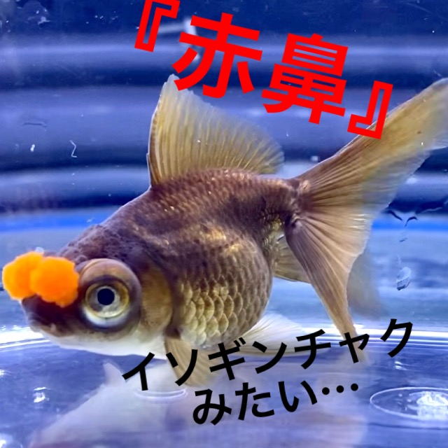 ◆出目茶金赤花房(でめちゃきんあかはなふさ)飼育。水槽移動で繁殖スイッチに気をつける。通販を含めた販売や価格帯とは。