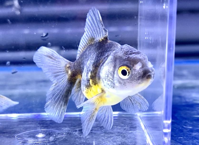 金魚の目が白い…眼の表面に膜、内側の白濁。原因や解消法とは。薬はあるのか?