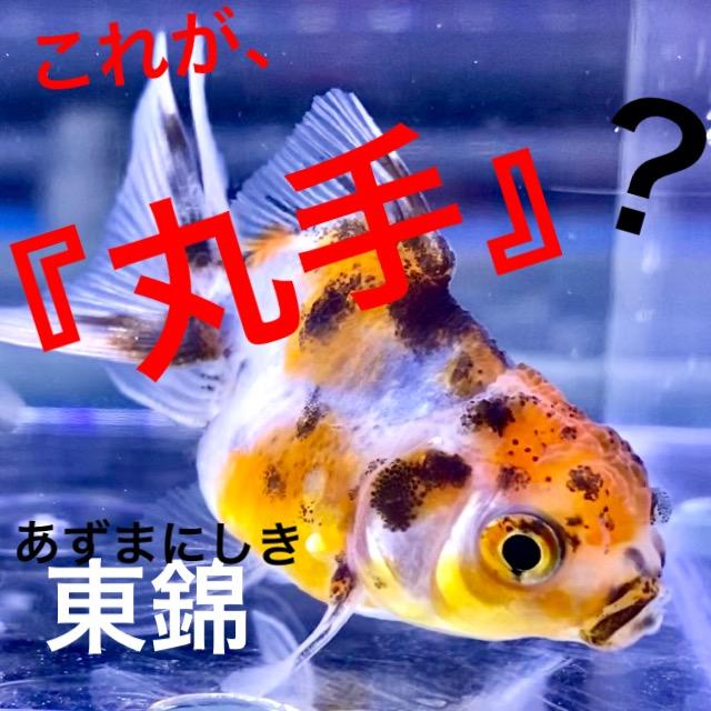 ◆丸手の東錦Sサイズは可愛らしいけど、らんちゅうよりも管理には要注意する。押さえておきたい4つのポイントとは。
