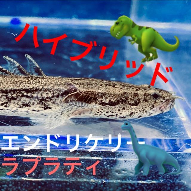 ◆ポリプテルス・ラプエン(ラプラティとエンドリケリー)飼育と混泳、エサについてPolypterus bichir lapradei✖endlicheri endlicheri。