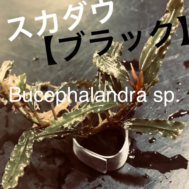 ◆『ブセファランドラSP.スカダウ ブラック』1.2.3と地名由来の名前で多くの品種が流通。通販を含めた販売や価格帯とは【Bucephalandra sp.】